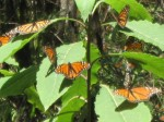 Valle de Bravo -Monarch butterflies